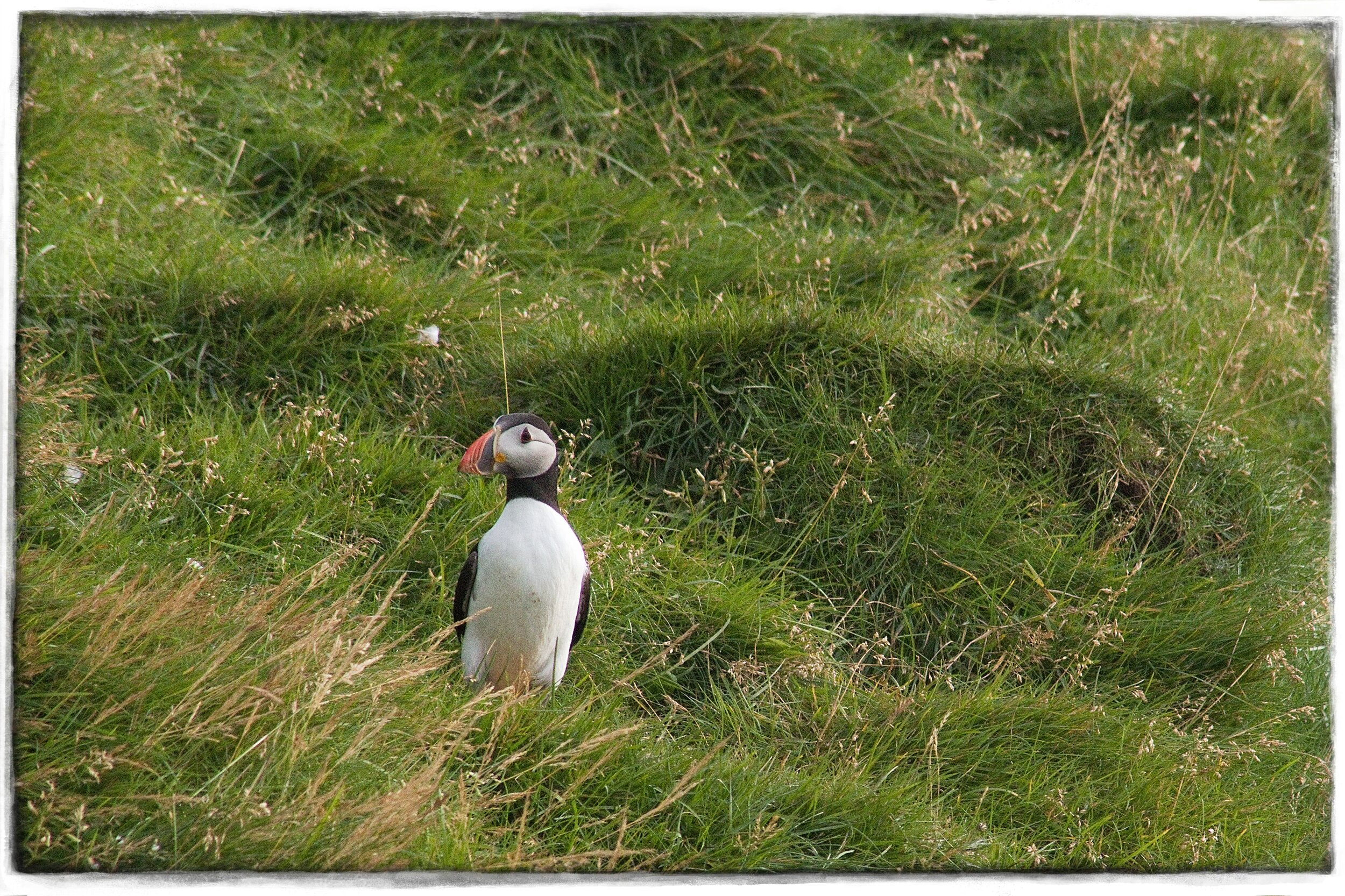 Finally! A puffin!  Photo by Michael Mundt.