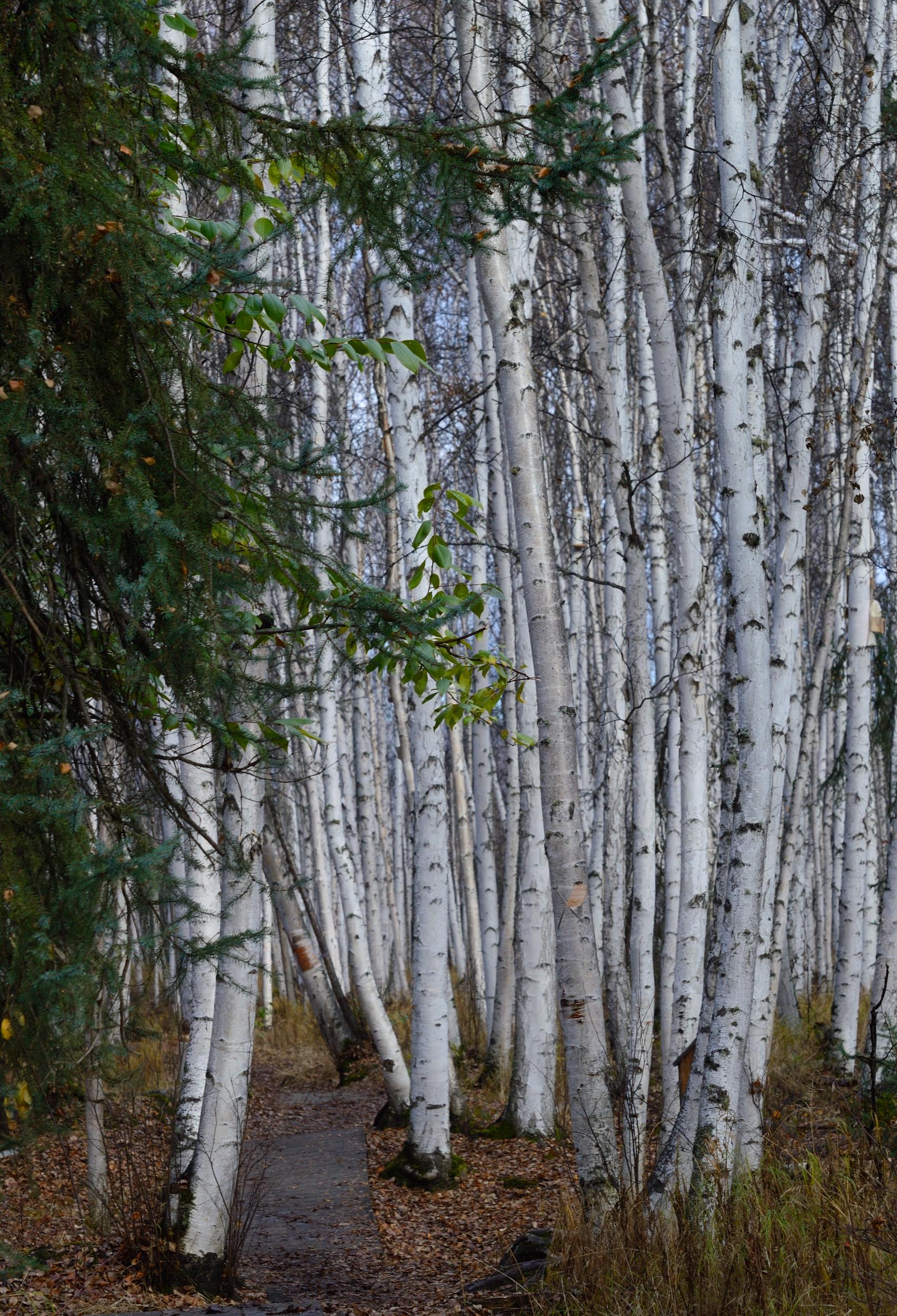 Boreal Forest, Alaska