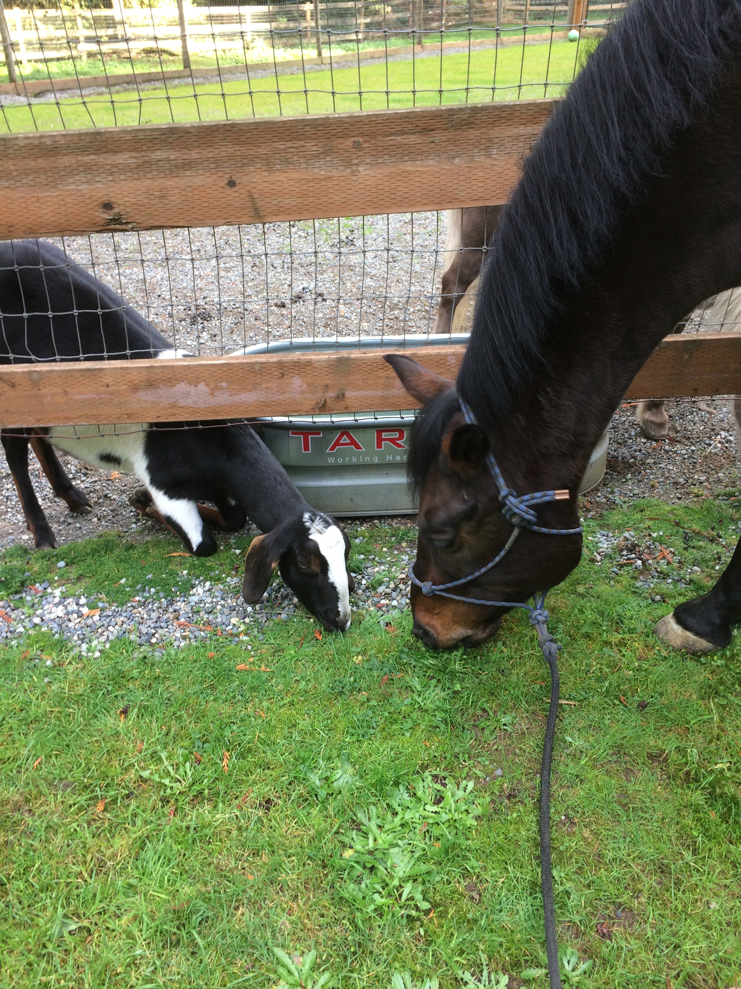 Duke sharing a graze with a new goat pal.