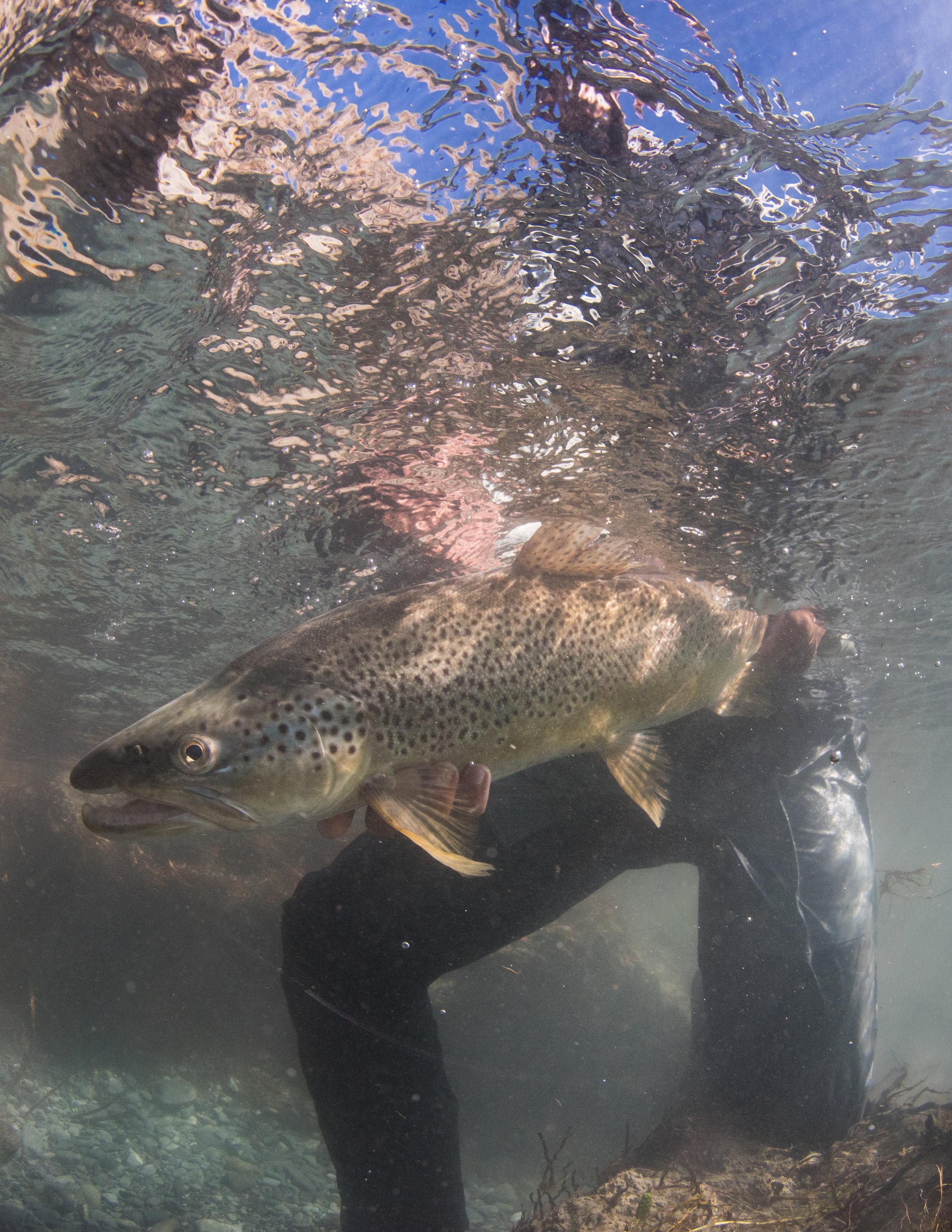 Under water brown trout Jim Klug