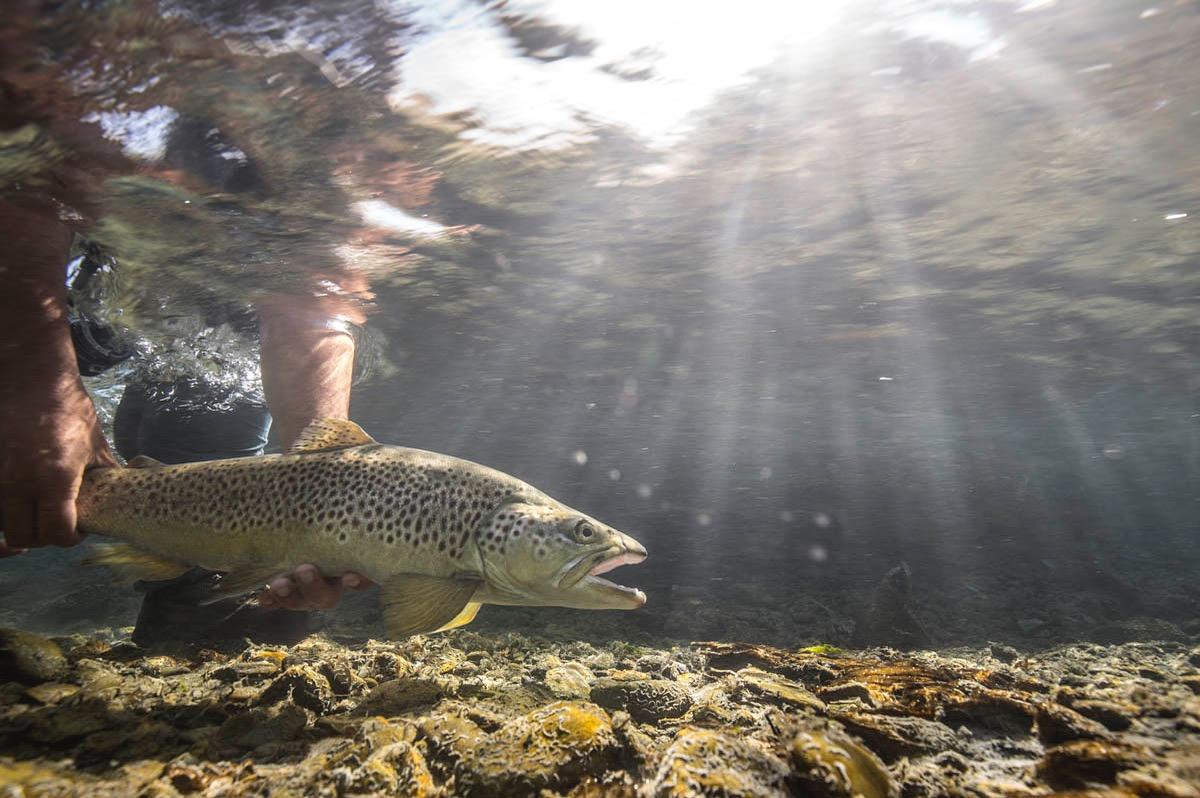 Underwater brown trout Hollis Bennett New Zealand