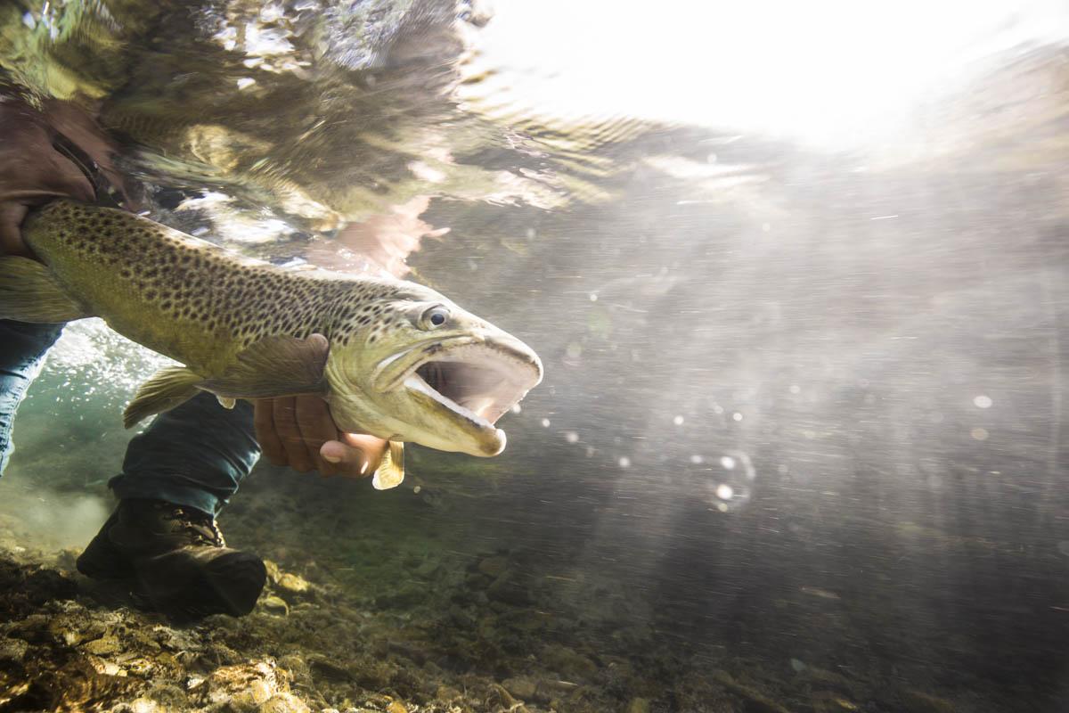 Under water New Zealand brown trout by Hollis Bennett
