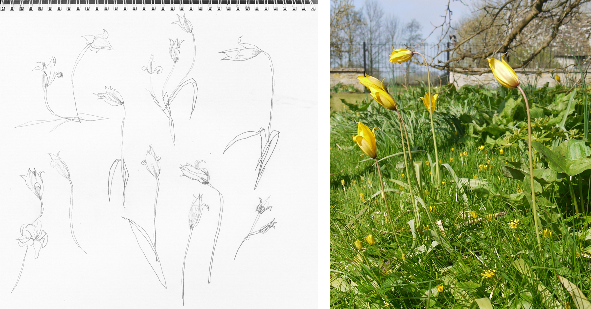Today's tulip drawings and photographs under the mulberry tree behind Kelmscott Manor