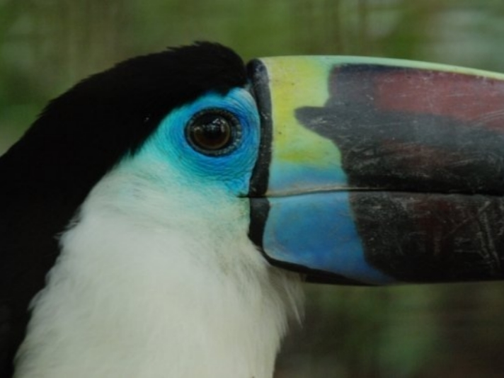 White Throated Toucan, Parque Ambue Ari, Bolivia. Photo by Chantal Berot
