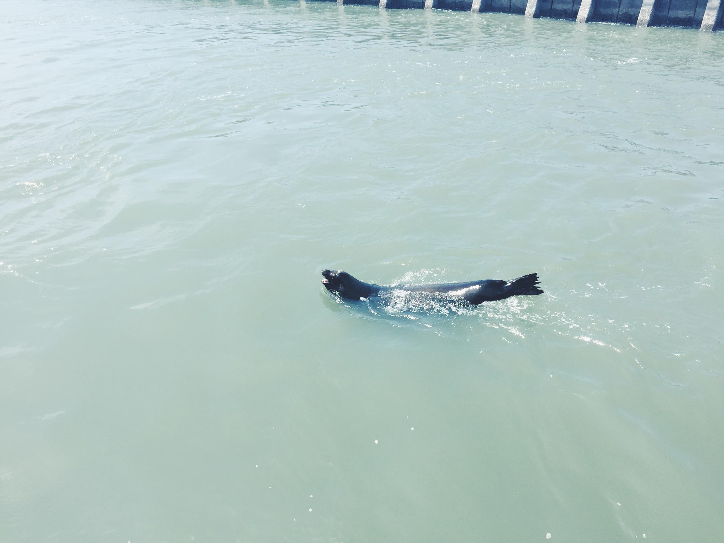 Pier 39 - Sea Lion