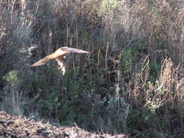 redtail brush rabbit.jpg