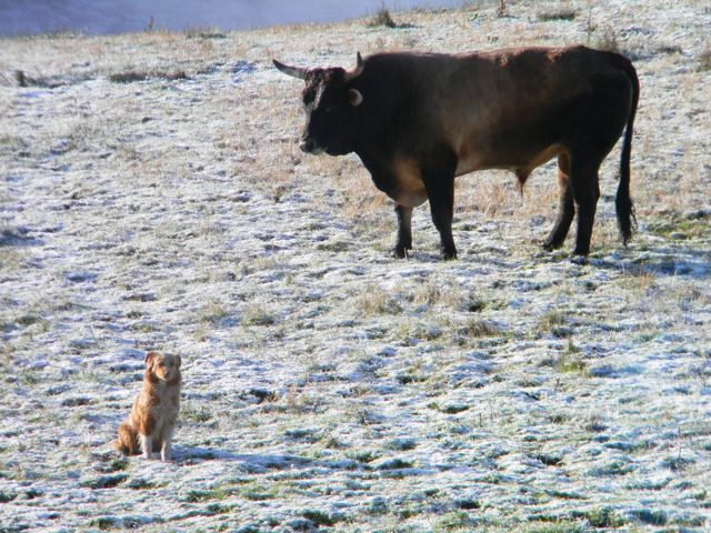 rodeo bull.jpg