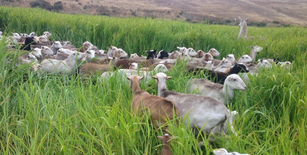 - Grass Fed Lamb