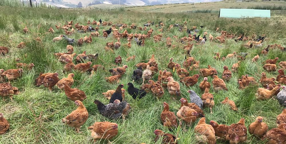 - Pastured Chicken