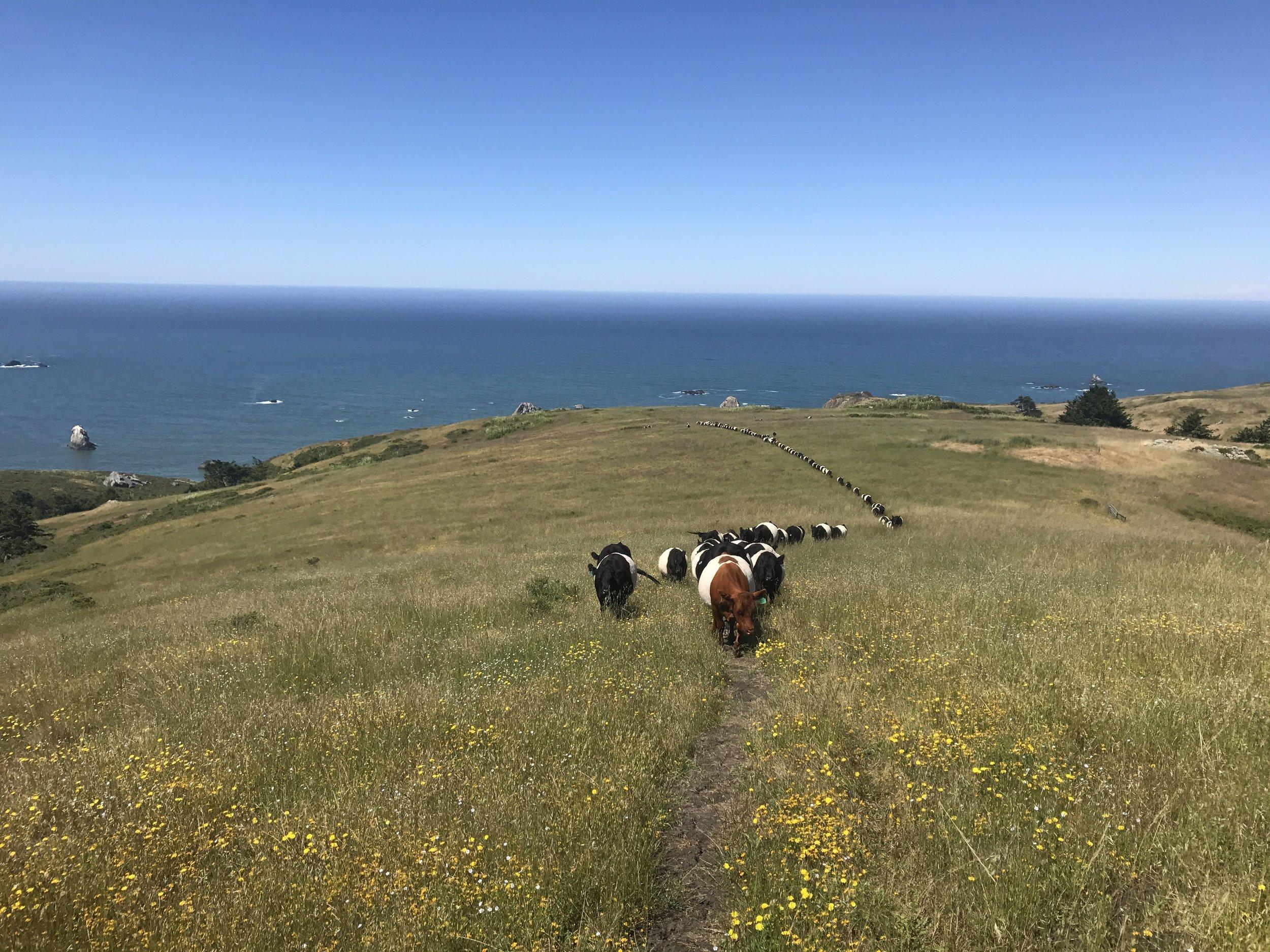 Line of Cattle.jpg