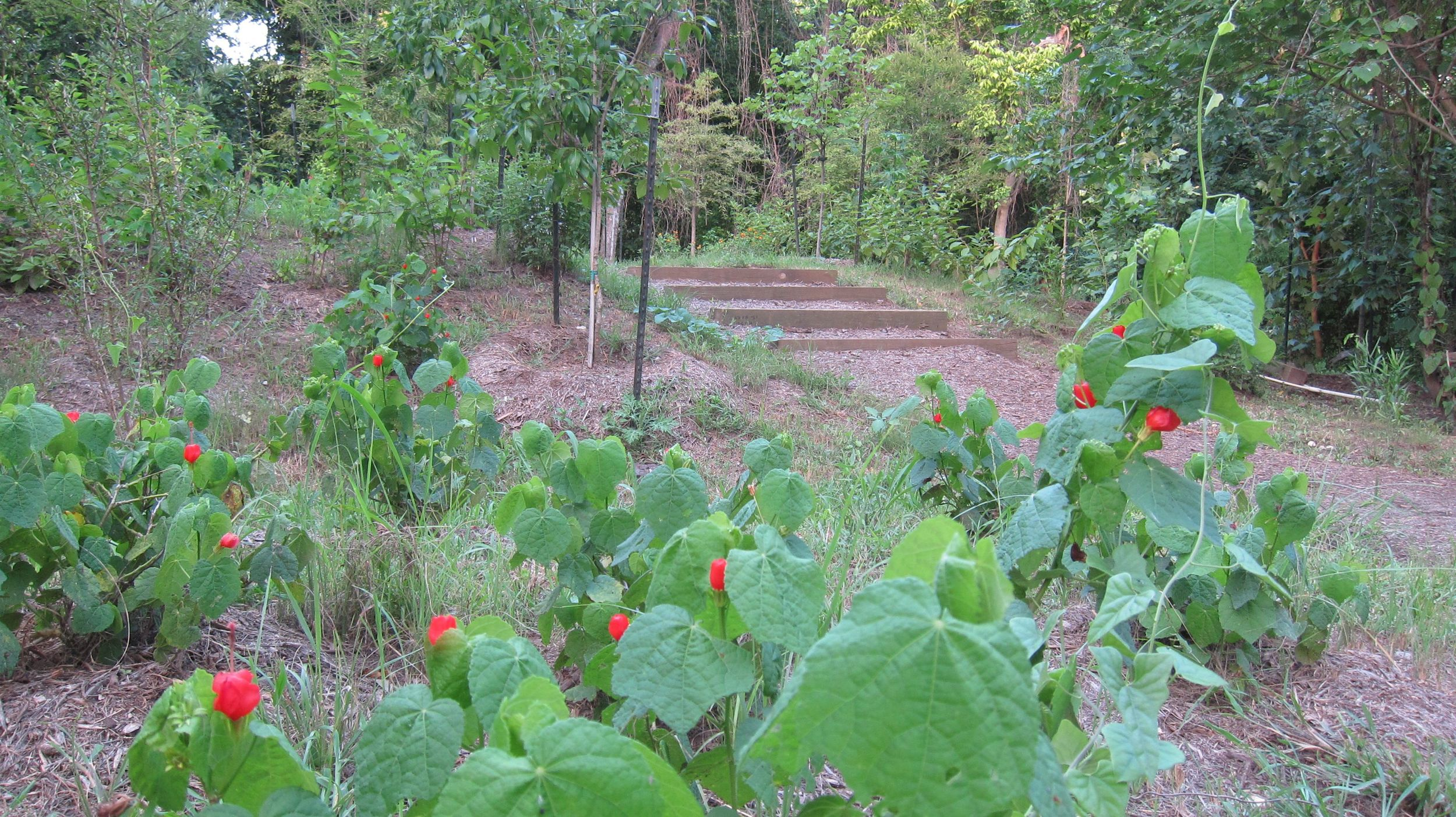 Turk's Cap. Photograph by Nat Smith 2014.