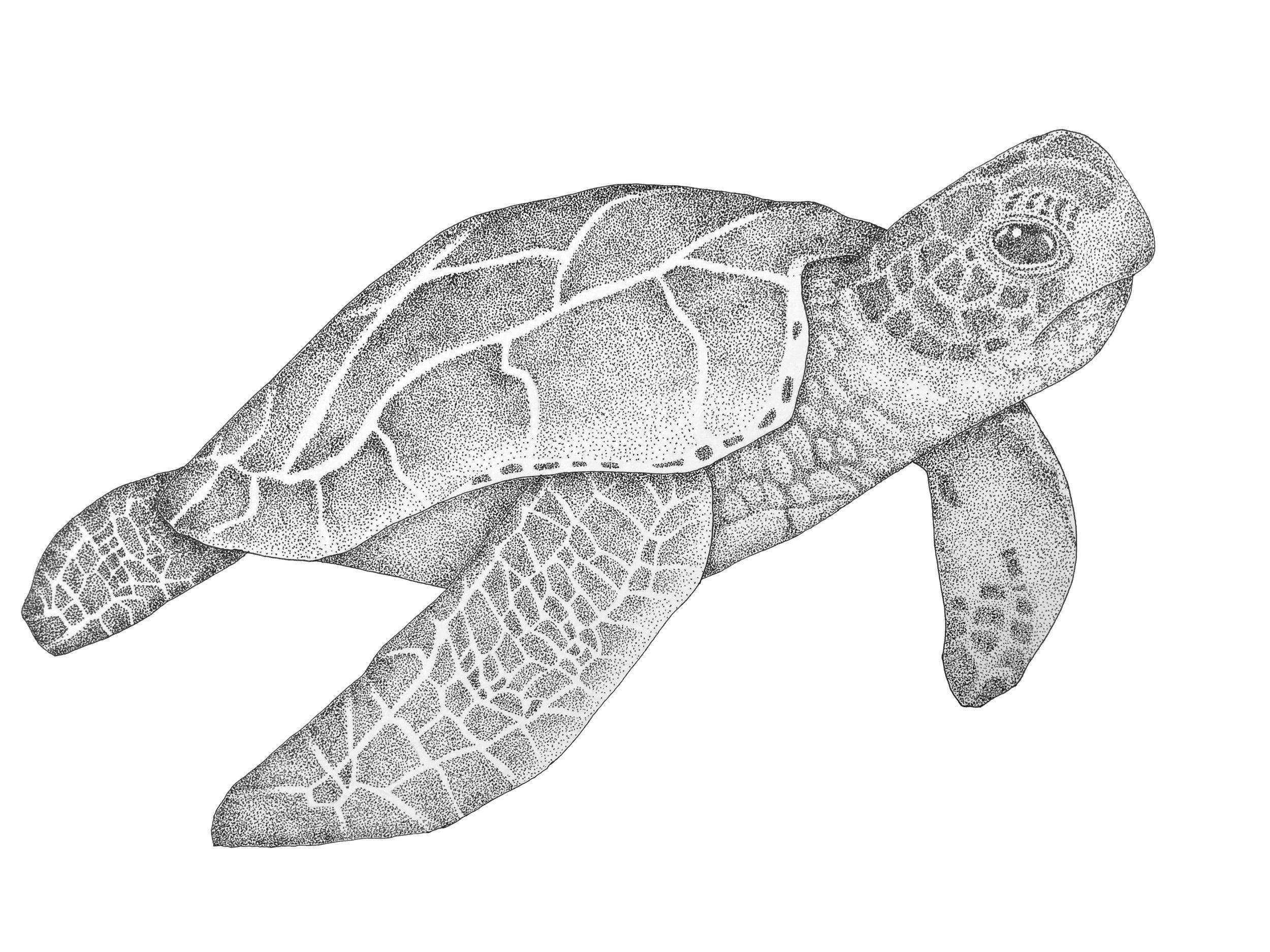 "17"" x 11"" - Sea Turtle"