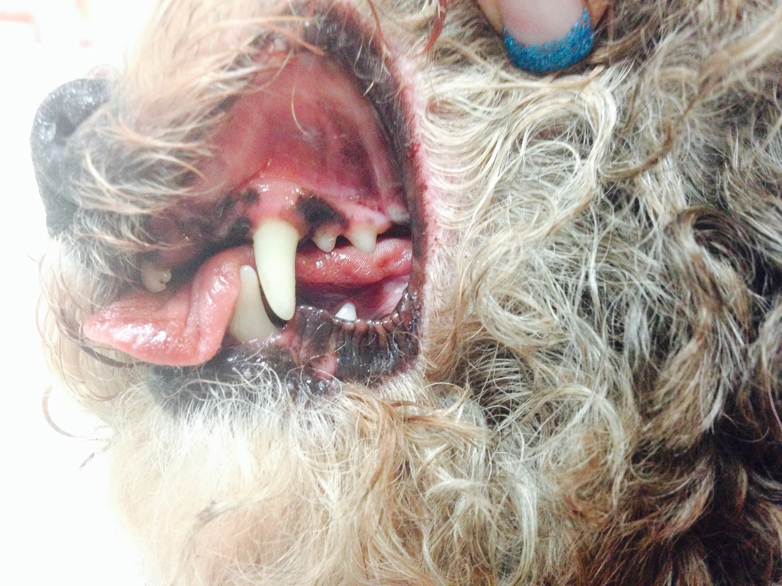 After the dental has been complete, you can see how clean Zenia's teeth are now. Antibiotics and pain medication are sent home with her for her recovery. She is such a cute little dog, and was an excellent patient!