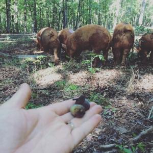 pigs eating fall acorns