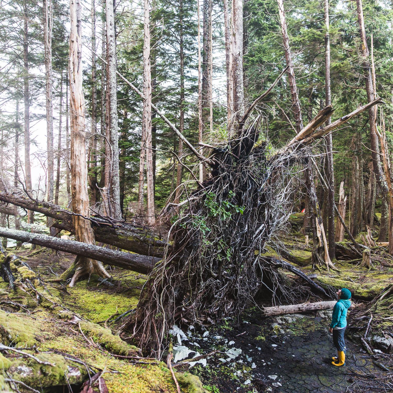 Fallen Tree_Panorama.jpg