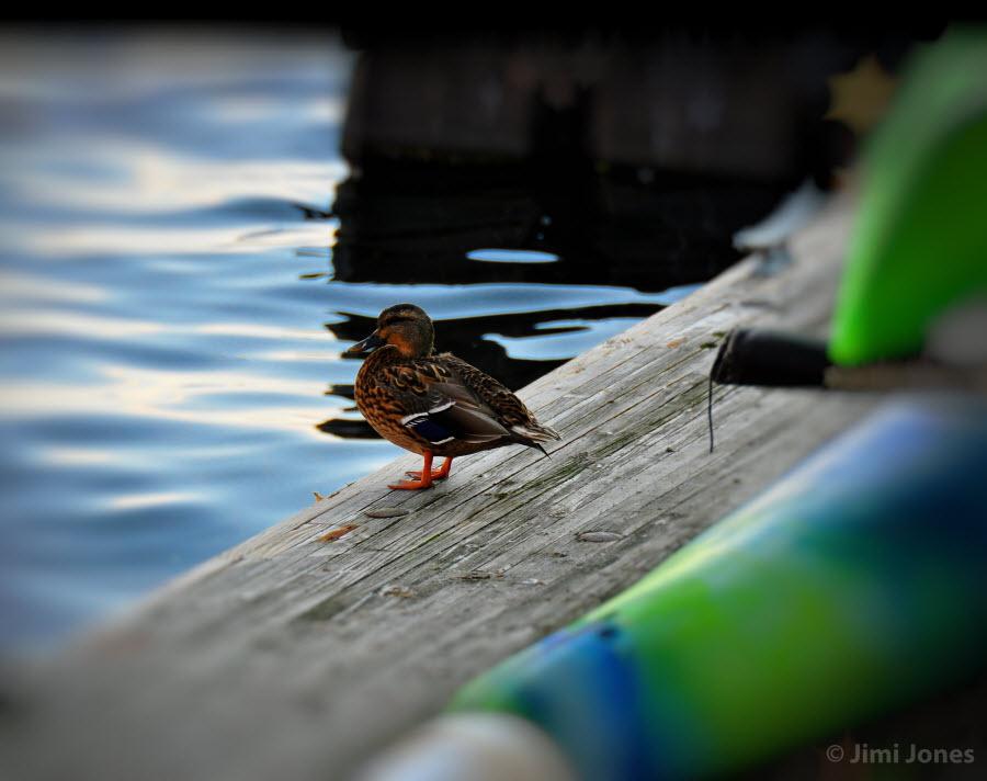 Duck on Dock