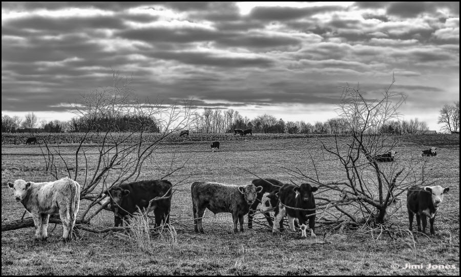 Black and white photograph of cows on a farm