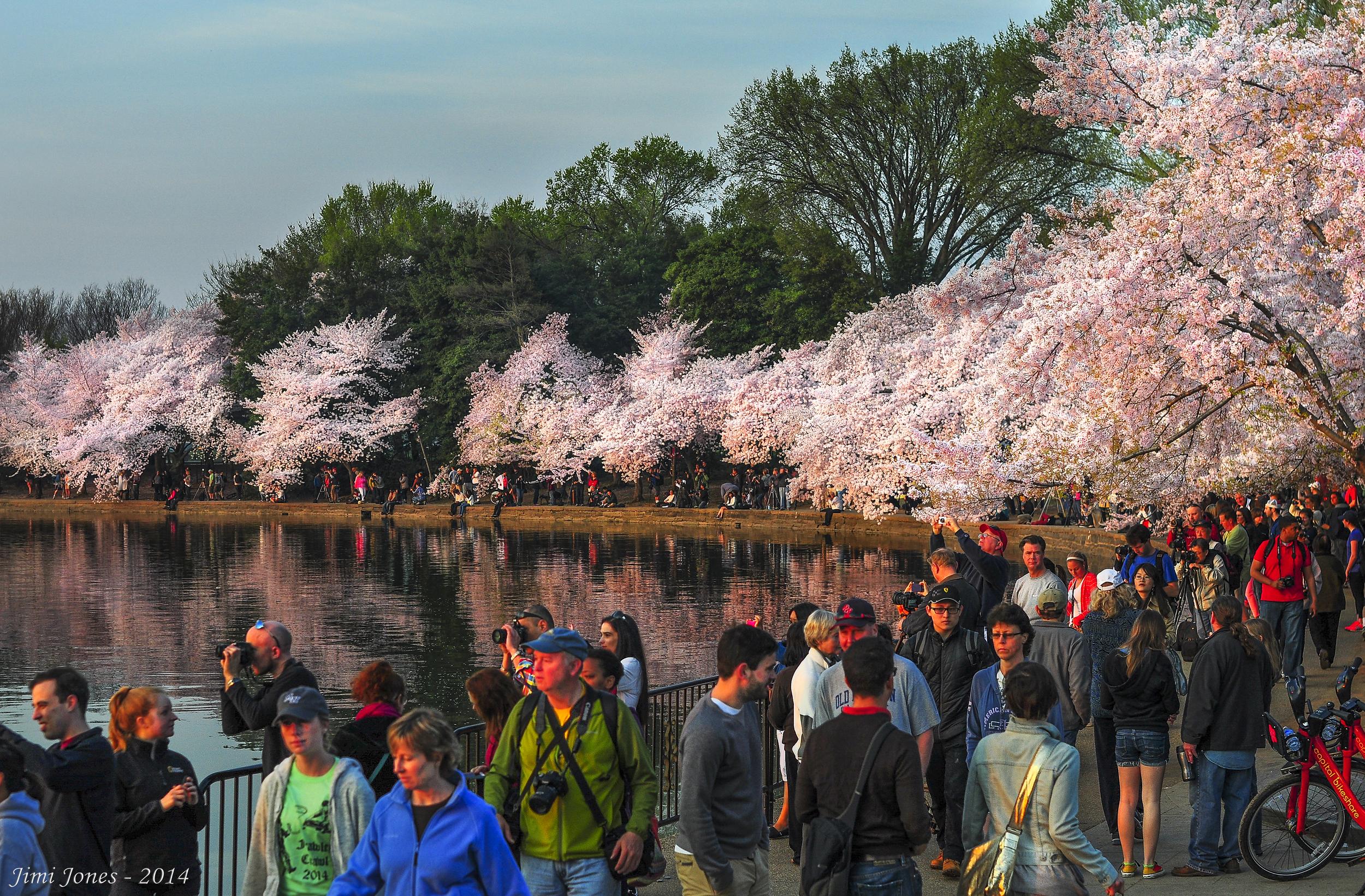 2014 Cherry Blossom Festival