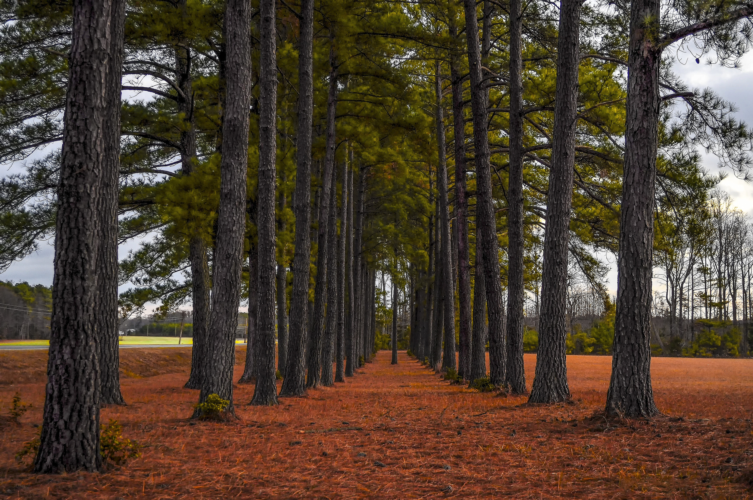 A Stand of Trees.jpg