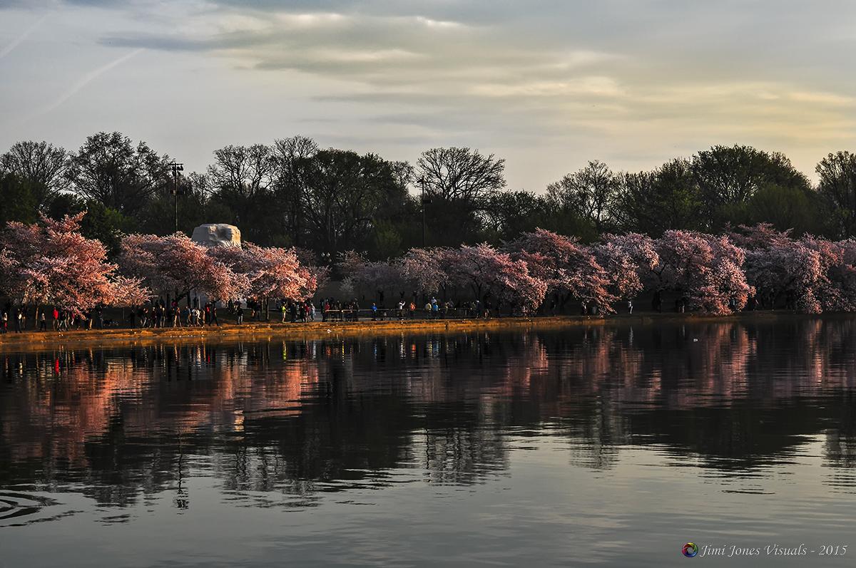 Cherry Blossom Trees at the Tidal Basin in Washington DC