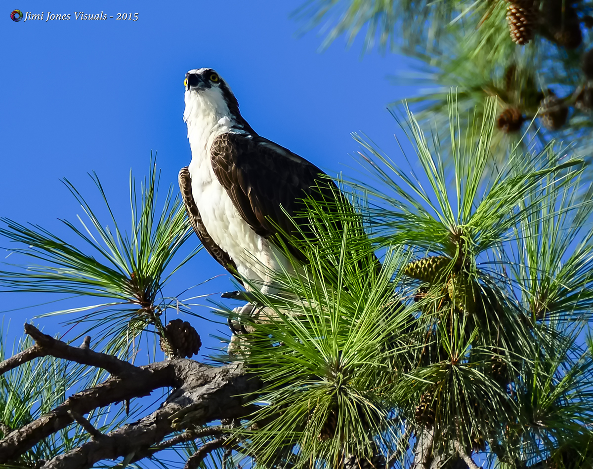 Osprey in a Pine Tree