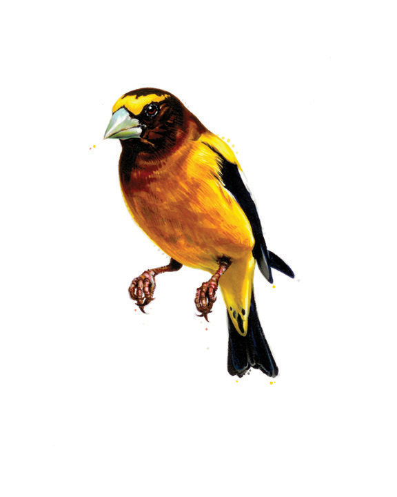 "Evening Grosbeak. 2013. Ink. 10"" x 8"""