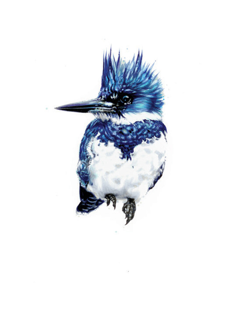 "Belted Kingfisher. 2013. Ink. 10"" x 8"""
