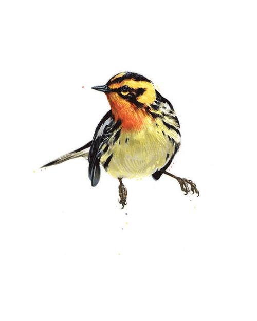 "Blackburnian Warbler. 2013. Ink. 10"" x 8"""