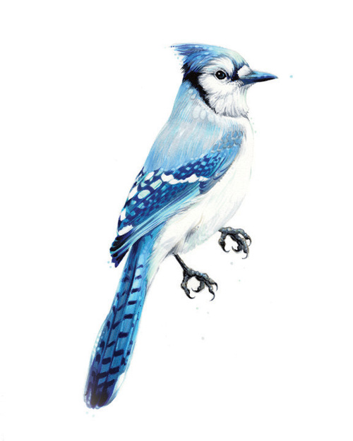 "Blue Jay. 2013. Ink. 10"" x 8"""