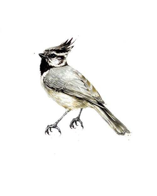 "Bridled Titmouse. 2013. Ink. 10"" x 8"""
