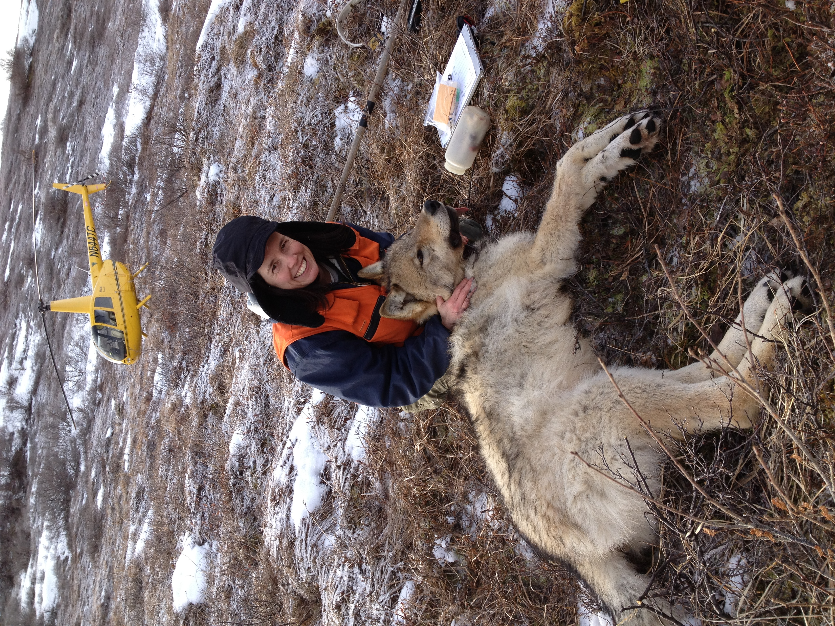Wolf capture in Denali National Park and Preserve, 2014 (photo: Troy Cambier)