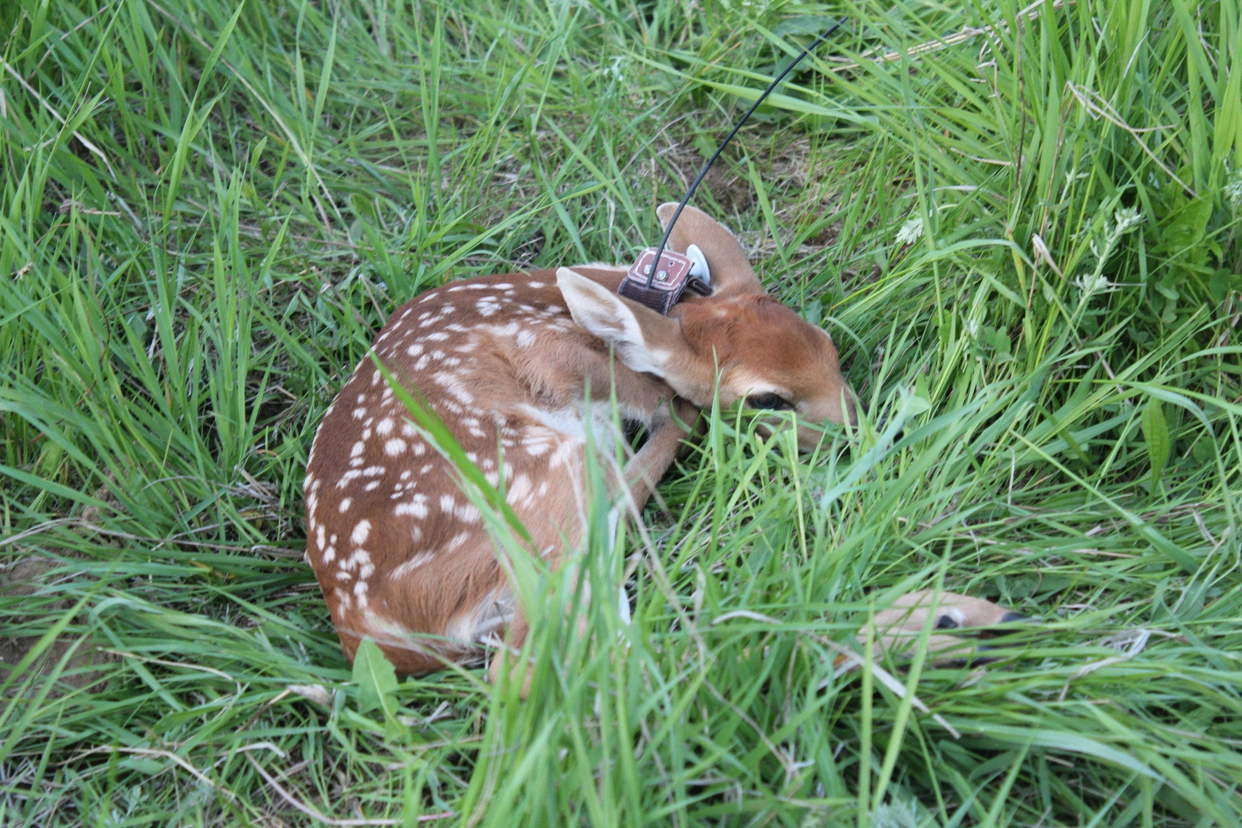 First collared fawn (photo: L Prugh)