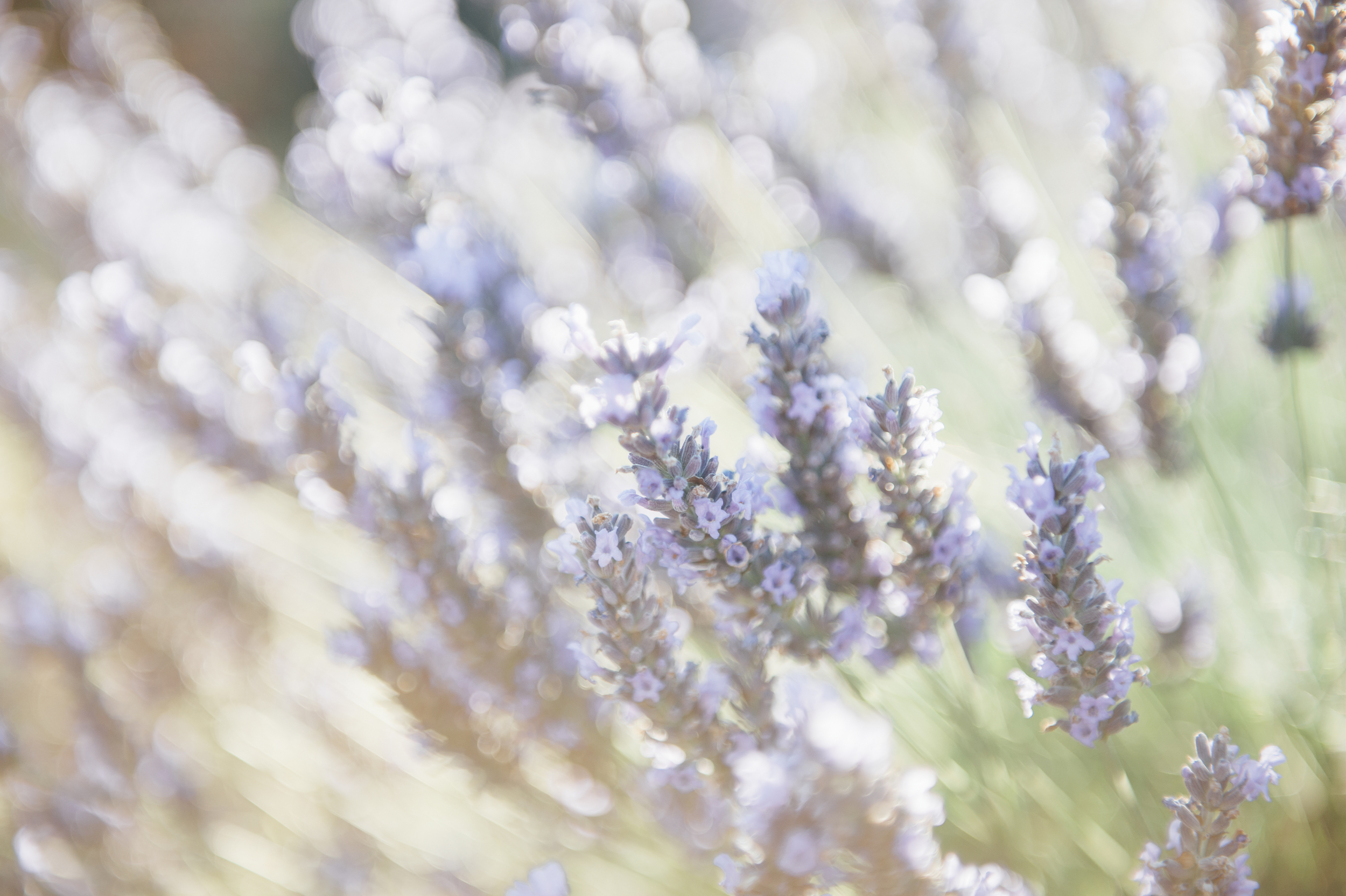 Lavender_Fields_Provence_Katie_Mitchell_Photography.jpg