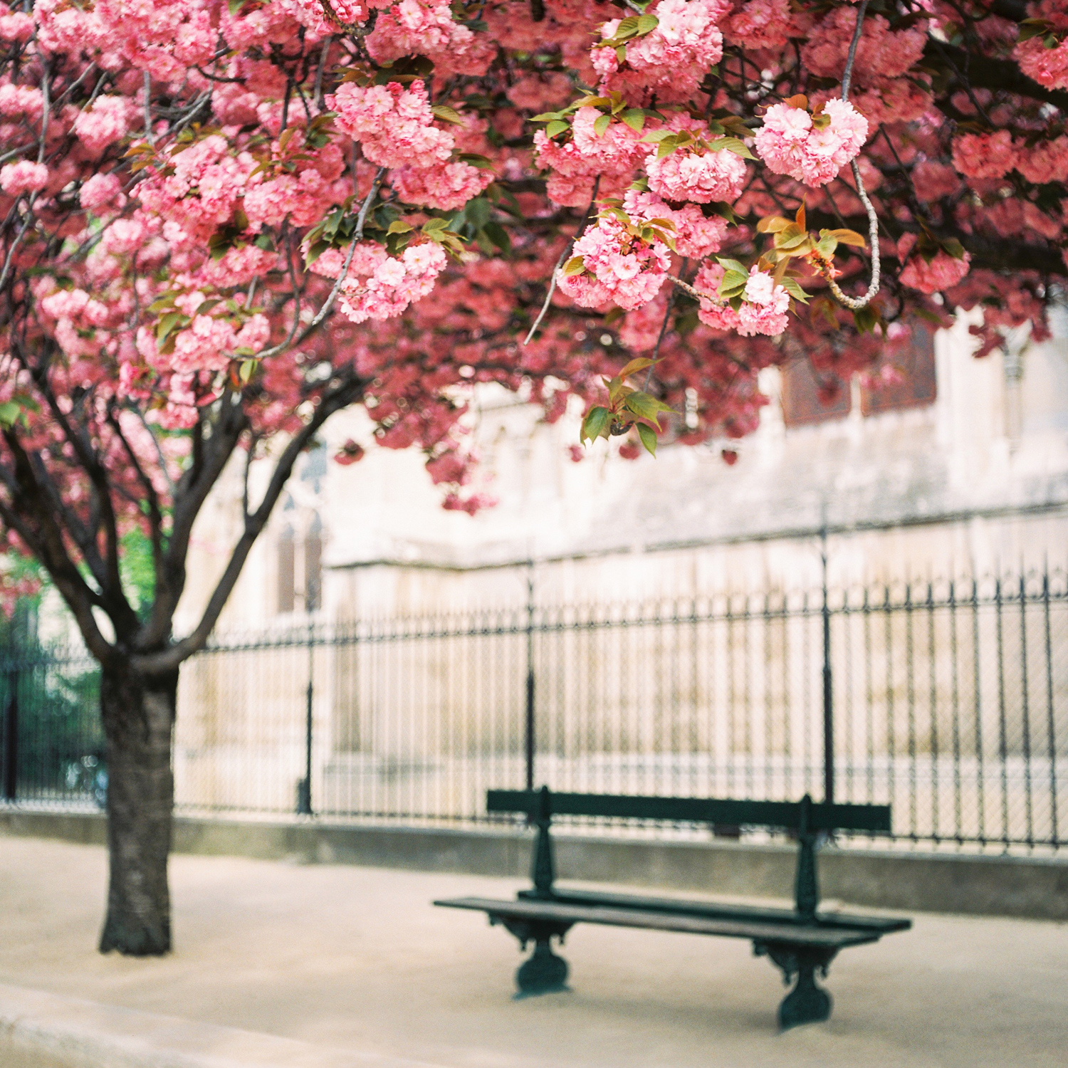 007-katie-mitchell-paris-photographer-springtime-cherry-blossom-magnolia-season-in-paris.jpg