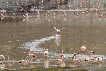 Laguna Grande, flamingos, Puna, Argentina