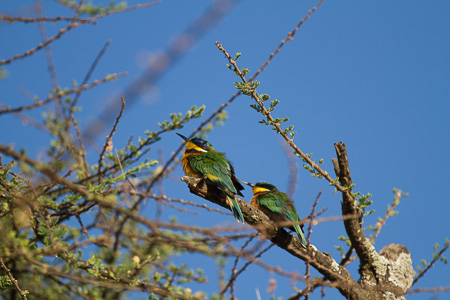 Green Bee-eaters, Bishingari