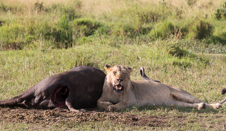 Lion & cape buffalo Maasai Mara