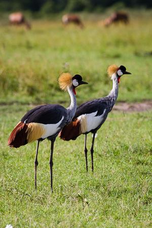 Crowned cranes, Maasai Mara