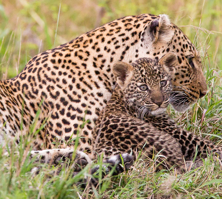 Leopard and cub, Maasai Mara