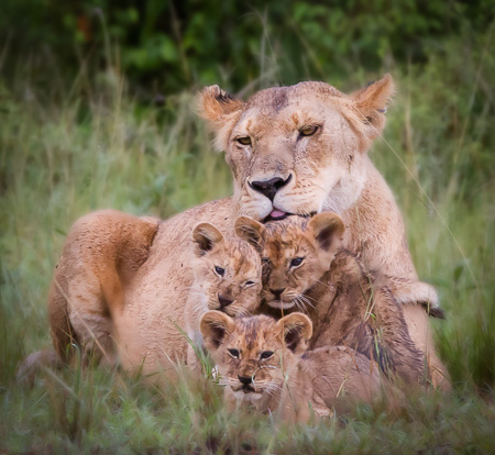 Mother and cubs, Maasai Mara