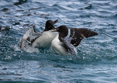 Battling guillemots
