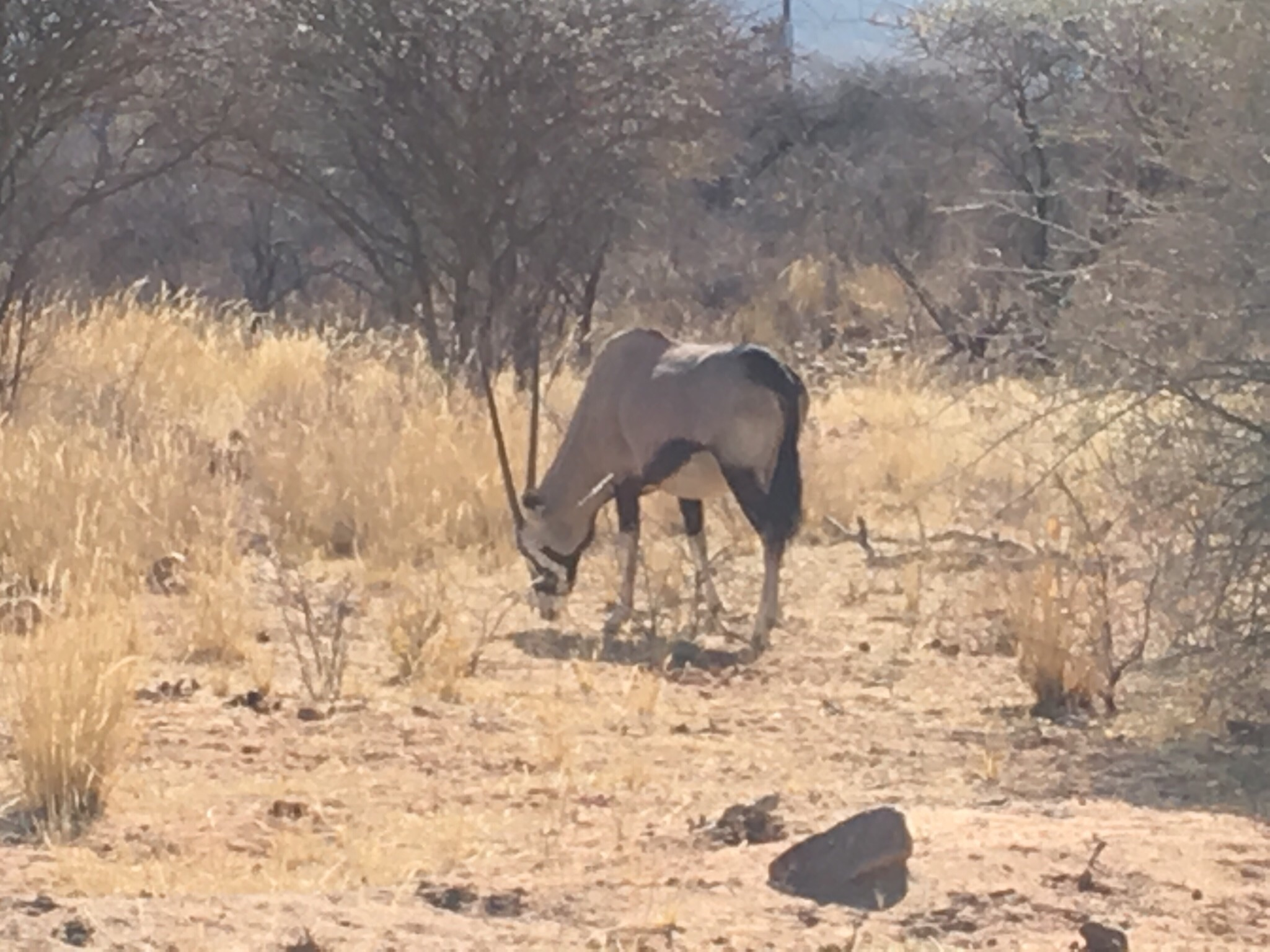Oryx Etosha