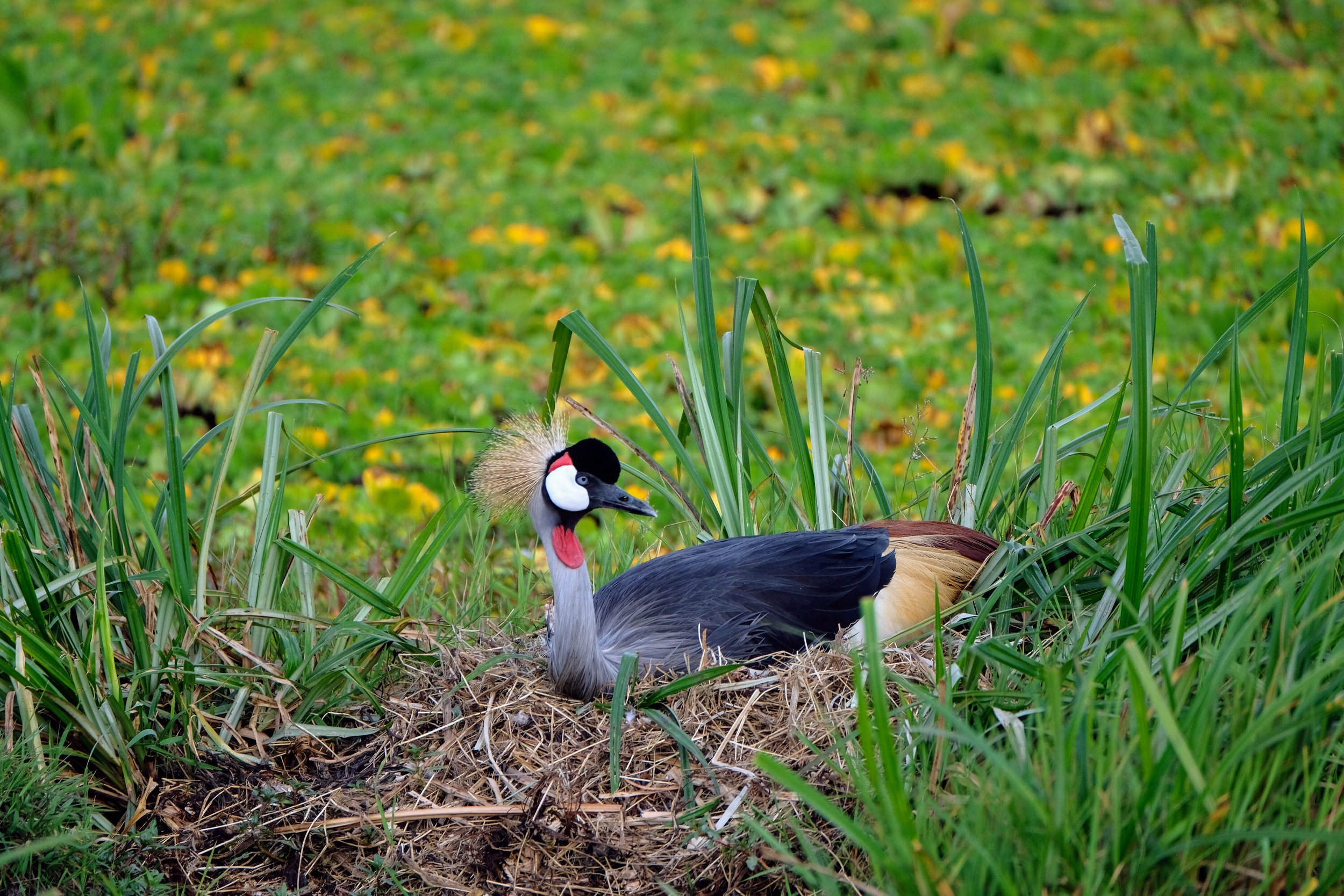 Crowned Crane on her nest