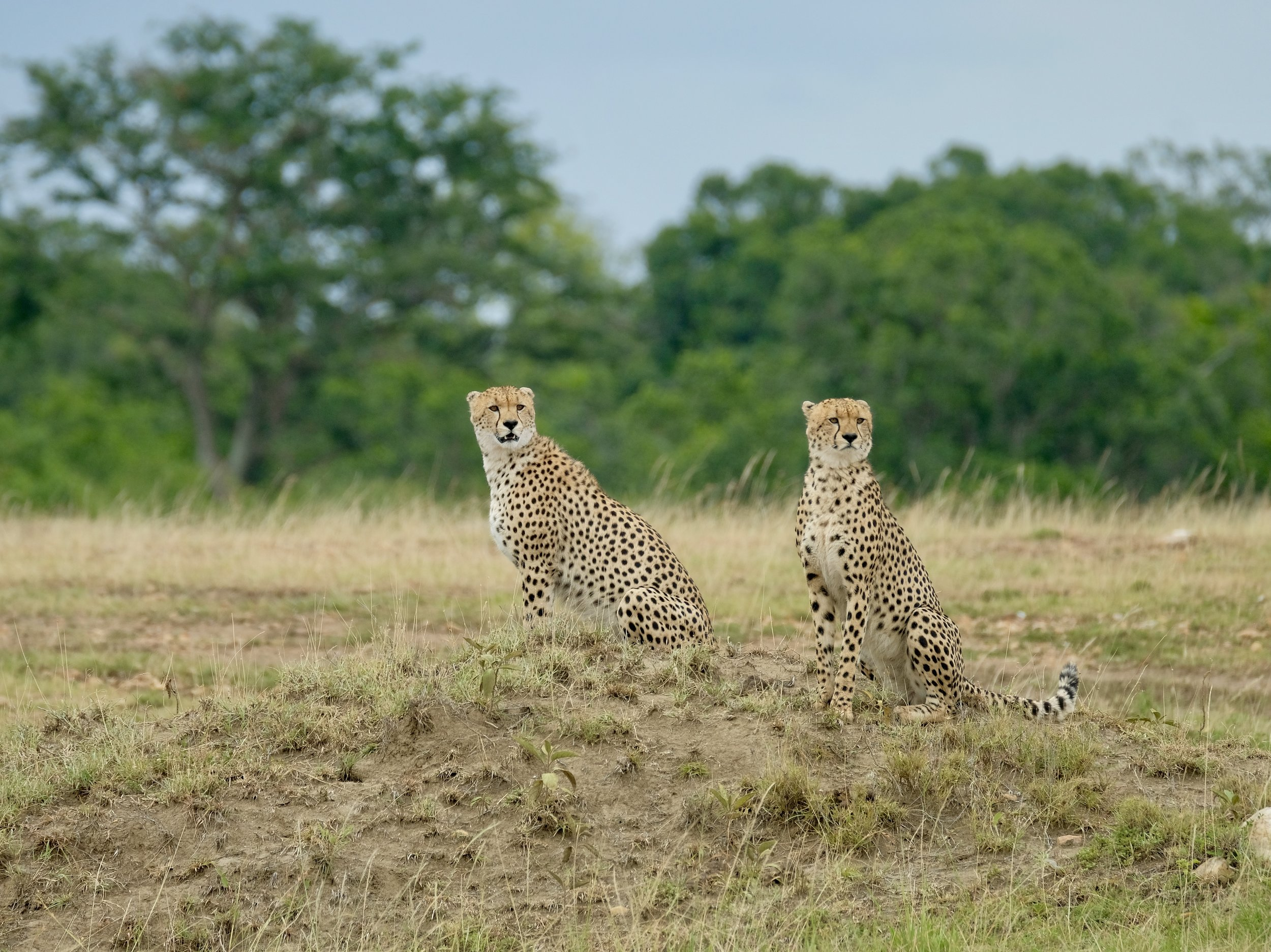 Unhappy cheetah boys calling Malika now on the other side of the river