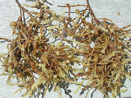 Sargassum seaweed