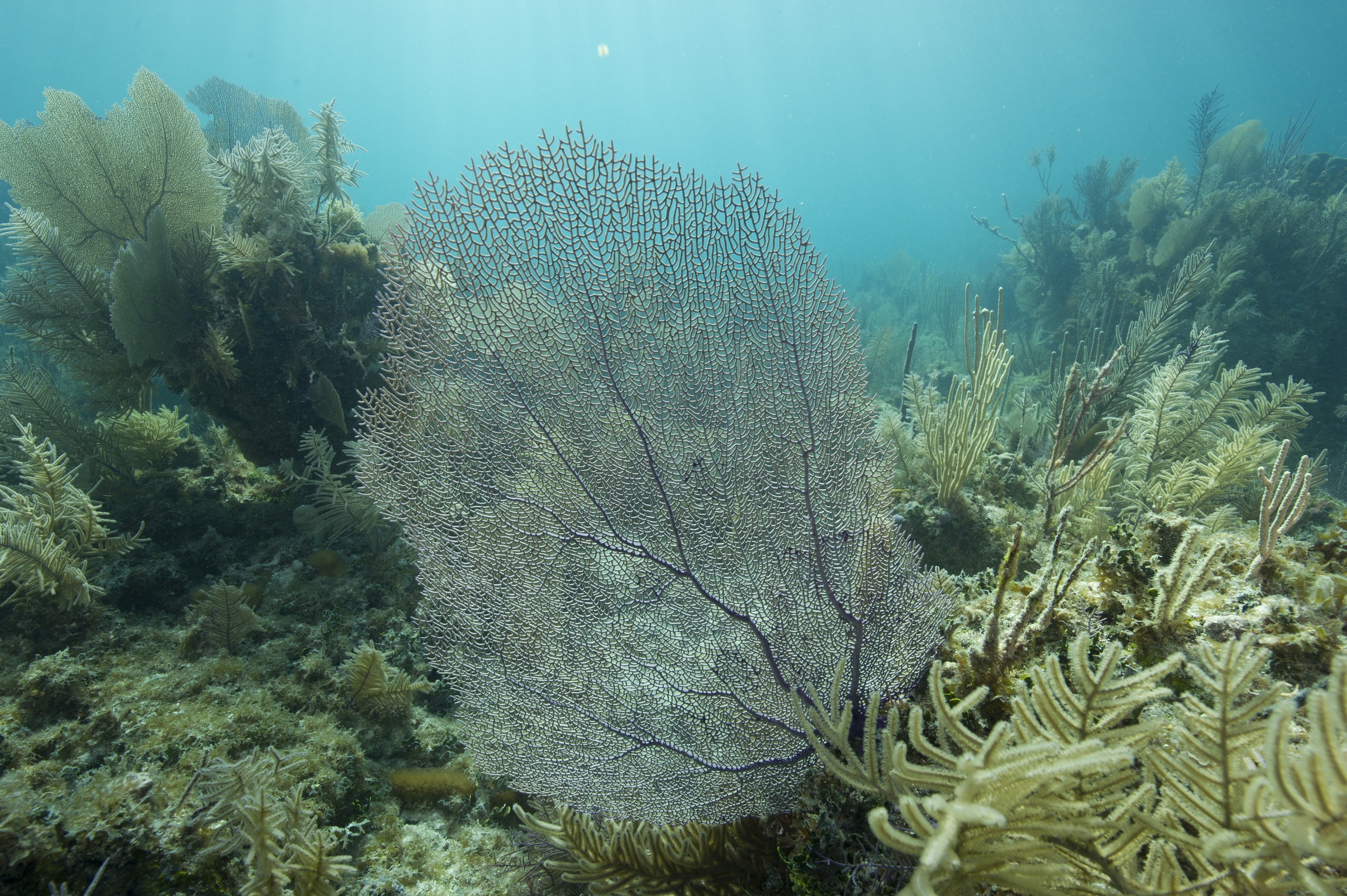 Original digital capture of a seafan, Florida Keys