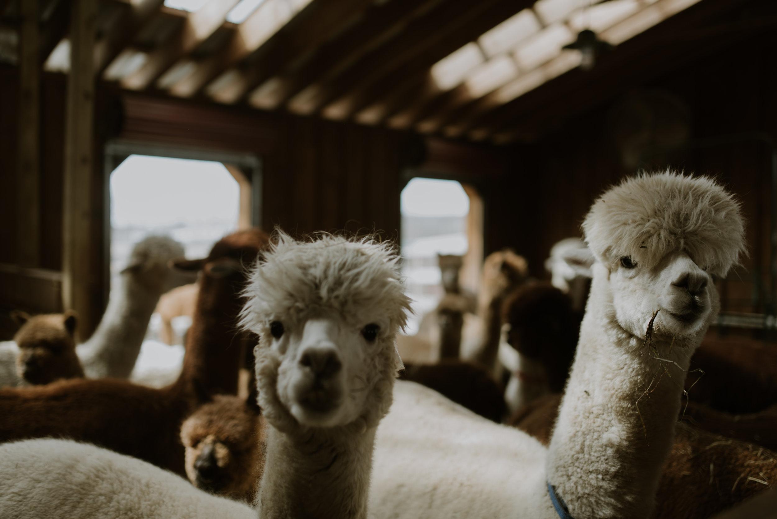 Foster-Supply-Co-Buck-Brook-Alpacas-MarchWinter-Snow-2018-Lawrence-Braun-0005.jpg