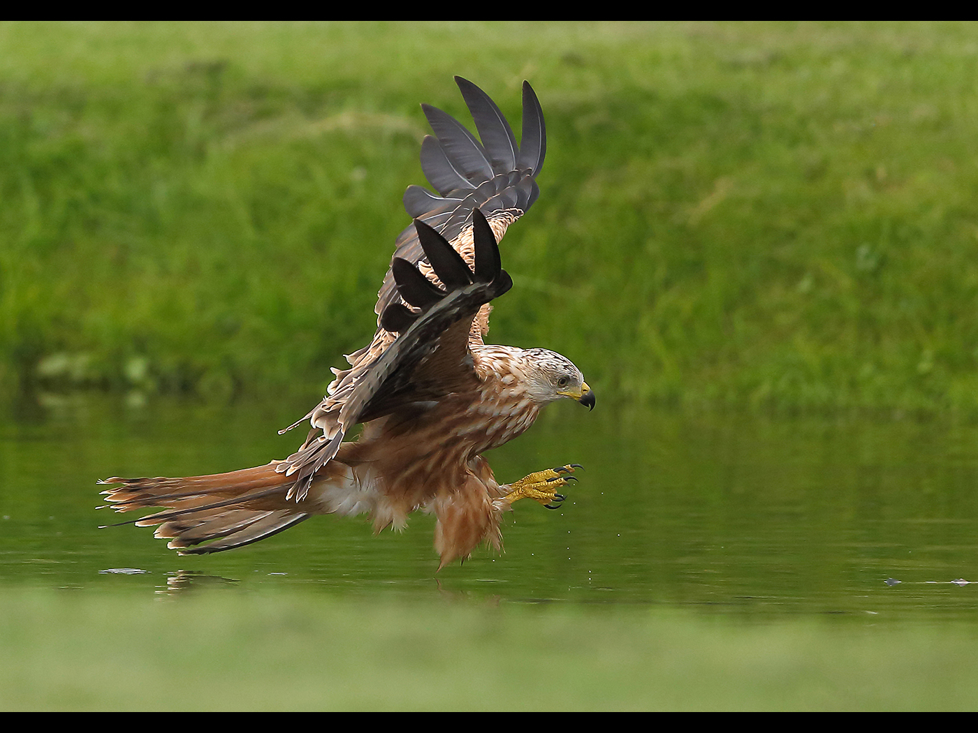 Red Kite by Neil Schofield