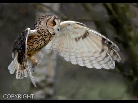 TAWNY OWL by Stephen Miller.jpg
