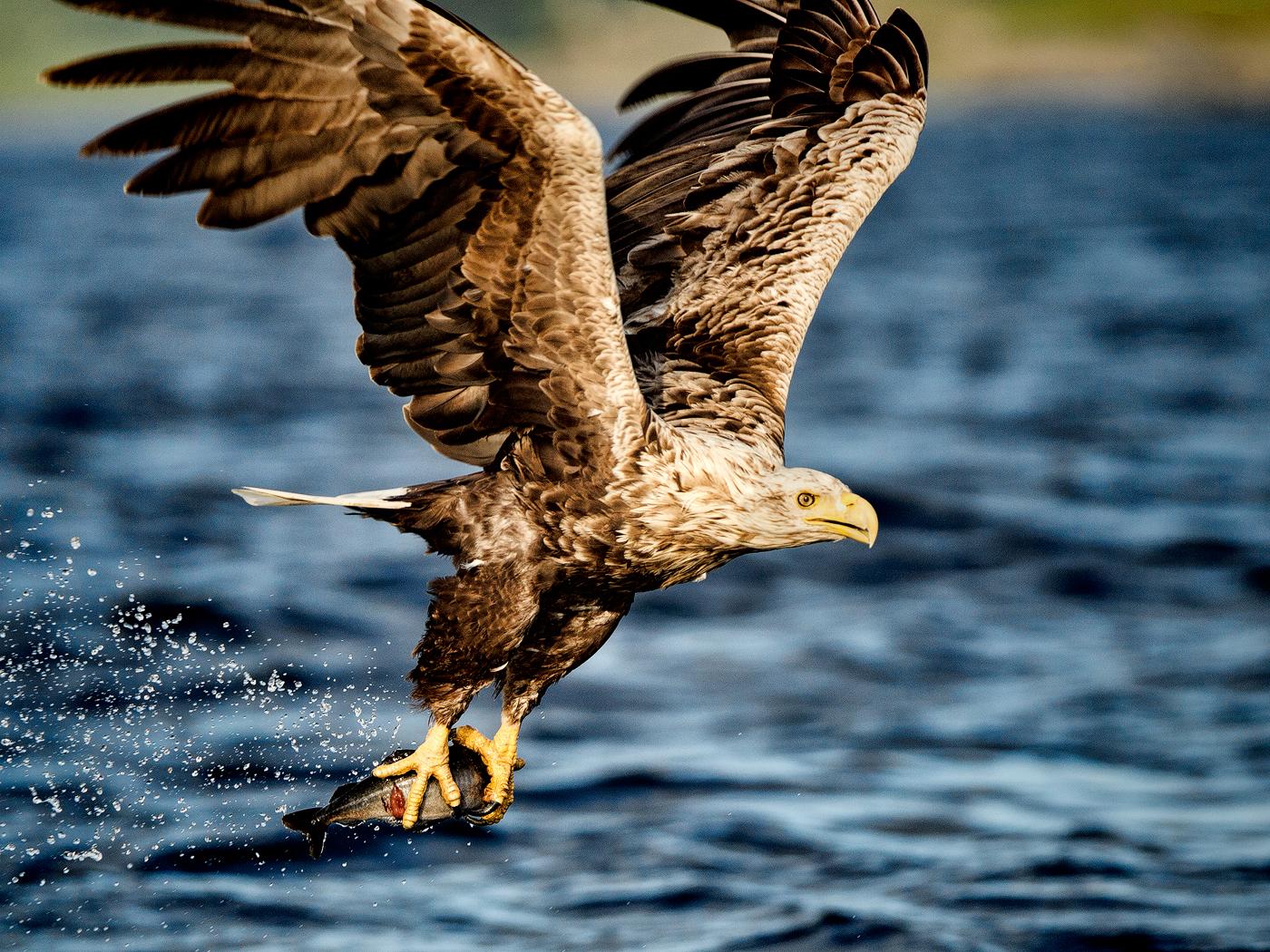 SEA EAGLE AT WORK by geoff einon .jpg